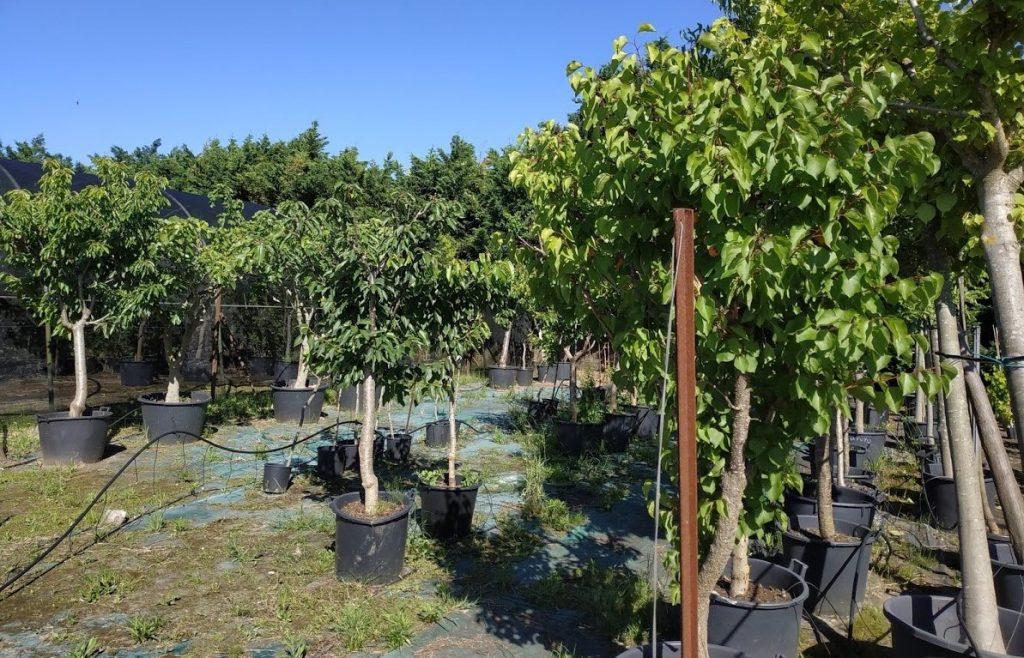 pepinieres-marcel-arbres-fruitiers