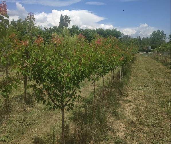 arbres-fruitiers-pepinieres-marcel