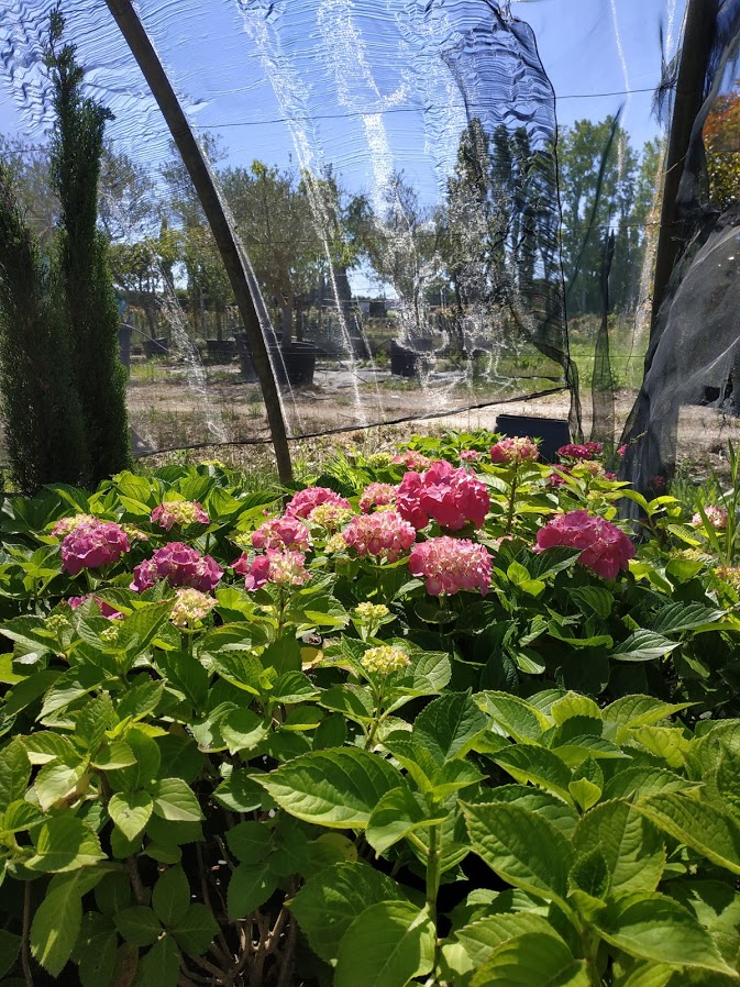 pepinieres marcel plantes à massif