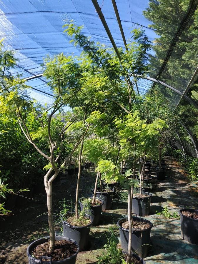pepinieres marcel arbre d'ornement
